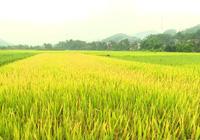 Long An: Chuyển hơn 40 ha đất trồng lúa sang phi nông nghiệp