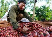 Giá nông sản hôm nay 26/2: Cà phê nhích nhẹ, tiêu đi ngang