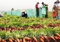 Từ 4/3, Hàn Quốc nhập khẩu cà rốt của Hải Dương trở lại