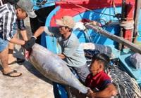 Xuất khẩu cá ngừ đại dương khởi sắc