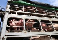 Giá nông sản hôm nay 1/3: Lợn hơi miền Nam giảm nhẹ, cà phê, tiêu chững giá