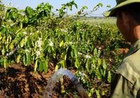 Nông dân Gia Lai hối hả đưa máy móc tưới cho cà phê sai quả