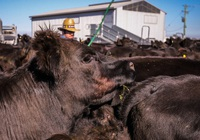 Australia rơi vào cuộc khủng hoảng thịt bò