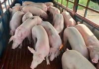 Phạt 4 doanh nghiệp nhập lợn sống từ Thái Lan