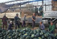 Giá dưa hấu tăng, lại được chính quyền tận tình hỗ trợ, nông dân thu lãi hàng chục triệu đồng/ha