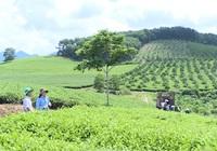 Tuyên Quang: Thay đổi, nâng cao chất lượng sản phẩm nông sản, có hộ thành viên thu về hơn 100 triệu/năm/hecta từ trồng chè