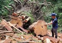 Gia Lai: Khởi tố, chuyển cơ quan công an điều tra vụ cây giáng hương cổ thụ bị cưa hạ