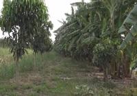 Từ vùng đất nhiễm phèn nặng, vươn lên thành thủ phủ cây ăn trái