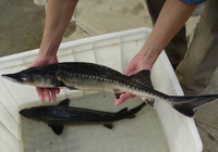 Giá cá tầm Trung Quốc siêu rẻ tràn nội địa, người nuôi cá trong nước khốn đốn