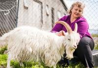 Gặp gỡ người phụ nữ đã cứu loài dê Iceland thoát khỏi bờ vực tuyệt chủng