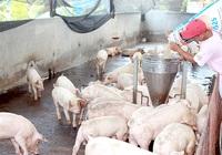Ứng dụng công nghệ cao chăn nuôi heo an toàn dịch bệnh