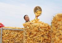 Trung Quốc có thể nhập 40 triệu tấn ngô trong năm nay