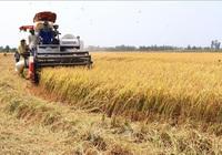ĐBSCL: Giảm gần 200.000 ha đất gieo trồng lúa, nhưng sản lượng vẫn ổn định