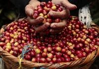 Giá nông sản hôm nay 22/4: Cà phê vẫn khởi sắc, tiêu cao nhất 71.000 đồng/kg