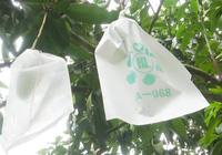 """Video: Phong trào """"mặc áo cho cây ăn quả"""" ở Sơn La, một sáng kiến kỳ diệu"""