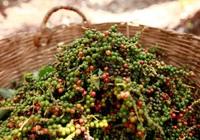 Giá nông sản hôm nay 23/4: Giá tiêu quay đầu đi xuống, cà phê chững giá