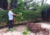 Hà Tĩnh: Cho lợn rừng ăn thảo dược, thịt lợn thơm ngon, anh nông dân thu lời lớn