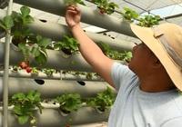 Bình Thuận: Trồng thành công dâu tây ngay giữa miền nắng cháy