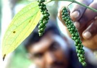 Sản lượng tiêu của Ấn Độ có thể giảm 50% vì mưa kéo dài