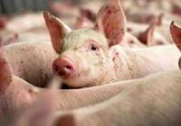 Giá nông sản hôm nay 16/10: Heo hơi tuột dốc không phanh; tiêu tăng 8.000 đồng/kg trong nửa tháng