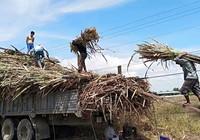 Ngành mía đường: DN sản xuất ngày càng teo tóp, sản lượng sụt giảm nghiêm trọng