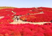 Video: Mê mẩn những thảm cỏ Kochia có khả năng tự đổi màu theo mùa ở Nhật Bản
