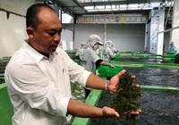 Khánh Hòa: Bỏ lương trên 10 triệu đồng/tháng về làm rong nho cho thu nhập tiền tỷ