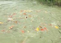 """Nuôi đàn cá Koi """"sang chảnh"""" trong bùn ruộng, người nông dân Bình Chánh đứng vững qua đại dịch"""