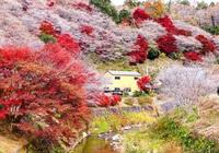 Video: Chiêm ngưỡng hoa đào nở trái mùa cực đẹp ở Obara, Nhật Bản