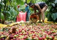 Giá cà phê còn biến động đến mức nào trước thềm vụ thu hoạch mới?