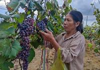"""""""Liều lĩnh"""" vay tiền đi trồng nho ở Gia Lai, người nông dân đã hái quả ngọt theo cả nghĩa đen và nghĩa bóng"""