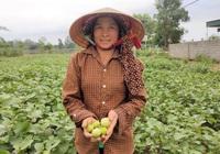 Clip – Ảnh: Nông dân xứ Nghệ trồng loại quả giòn, ngon, mỗi vụ lãi cả trăm triệu