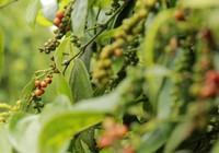 Giá nông sản hôm nay 13/5: Giá tiêu thấp nhất 63.000 đồng/kg, cà phê bất ngờ sụt mạnh