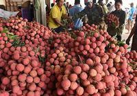 Vải chưa chín nhưng 5.000 tấn quả đã xếp chỗ trong siêu thị toàn quốc và 2.000 tấn xuất khẩu ra nước ngoài