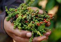 Giá nông sản hôm nay 15/5: Dự báo giá tiêu có xu hướng đi xuống