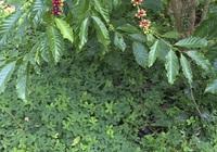 Trồng cây lạc dại trong vườn cà phê có tác dụng gì?