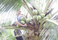 Dừa khô nguyên liệu tăng giá