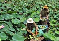 An Giang: Sen rớt giá mạnh, nông dân được mùa vẫn lo lỗ vốn