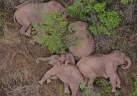 Lý giải hiện tượng voi di cư bất thường ở Trung Quốc