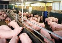 Chăn nuôi Mitraco (MLS) chốt quyền chia cổ tức tiền mặt tỷ lệ 40%