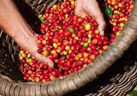 Giá nông sản hôm nay (14/6): Giá tiêu xuất khẩu tăng mạnh, cà phê đi ngang