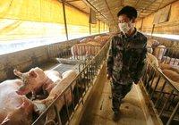 Trung Quốc ồ ạt nhập khẩu đậu nành để nuôi lớn đàn heo