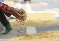 Hà Nội: Nông dân bất lực nhìn lúa mọc mầm vì mưa liên tiếp