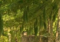 Quảng Trị: Nông dân Gio Mỹ trồng mướp đắng thích ứng biến đổi khí hậu cho thu nhập cao