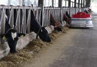 Trang trại nuôi hàng ngàn con bò sữa hữu cơ, cho uống thuốc nam chữa bệnh