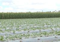 Sóc Trăng: Bà con nông dân xã An Mỹ trồng bắp hiệu quả cao, cho thu nhập khá