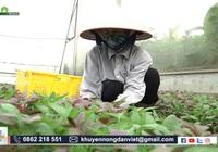 Tránh nắng cho rau siêu giỏi, nông dân Hà Nội trồng rau trái vụ vẫn cho năng suất cao