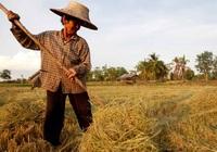 Thái Lan nỗ lực lấy lại vị trí nhà xuất khẩu gạo số 1 thế giới