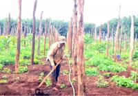 Hồ tiêu Gia Lai nhích giá, nông dân bắt đầu trồng trở lại