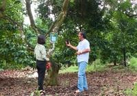 Đồng Nai: Mã hóa định danh cho cây chôm chôm tại xã Bình Lộc